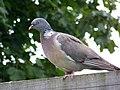Woodpigeon (Columba palumbus) - geograph.org.uk - 887695.jpg