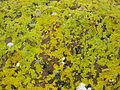 Xanthoria parietina at Portencross.JPG