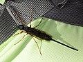 Xeris spectrum (Hymenoptera- Symphyta) - Schwarze Kiefernholzwespe (7615319732).jpg