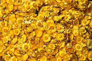 Xerochrysum bracteatum - Xerochrysum bracteatum Everlasting flower from Ooty, India