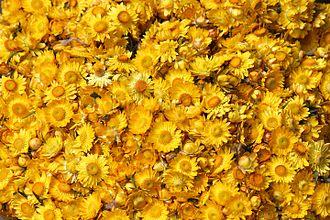 Ooty - Xerochrysum bracteatum - Everlasting flower from Ooty