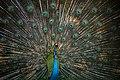 Yala Peacock.jpg