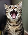 Yawning cat portrait (8423278464).jpg