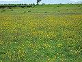Yellow Donald Duck flowers at Kaas Plateau.jpg