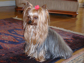 Yorkshire Terrier - A silver blue and pale cream Yorkshire Terrier, with characteristic long hair.