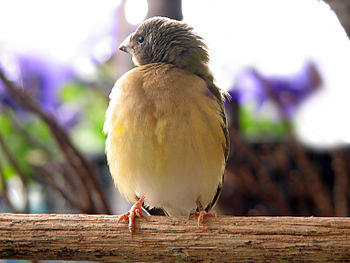 A young Gouldian Finch with the beginnings of ...