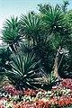 Yucca elephantipes in cultur San Marino CAL B.jpg