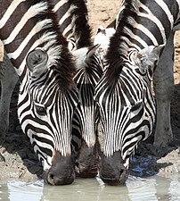 Trois zèbres de Burchell (Equus quagga burchellii) s'abreuvant à un point d'eau, dans la province sud-africaine de KwaZulu-Natal. (définition réelle 2973×3315)