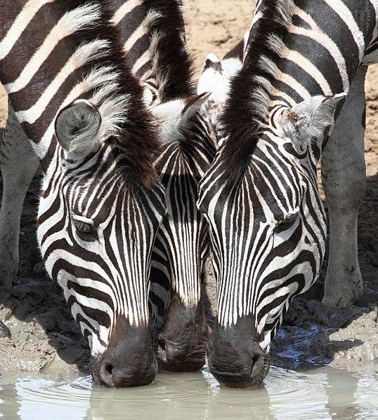 File:Zebra 2013 10 06 1274.jpg