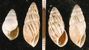 Märzenschnecke (Zebrina detrita)