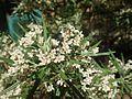 Zieria tuberculata.jpg