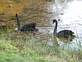 Zwarte zwanen Mattemburgh P1000844.jpg