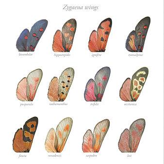 Zygaena 8 wings.jpg