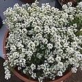 'Giga White' alyssum IMG 5044.jpg
