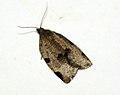 (1002) Lozotaenia forsterana (4750209224).jpg
