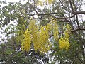 (Cassia fistula) flowers at IG Zoo park 04.JPG