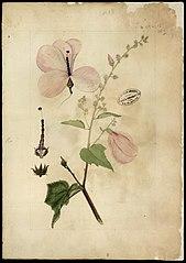 (Hibiscus)