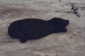 (Jubany) Cría Elefante Marino (1).png