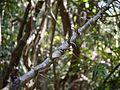 ¿ Dalbergia horrida ? (5553698706).jpg