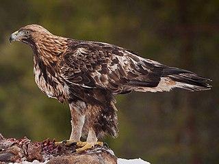 Species of eagle