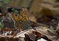 Буроглазка Мегера (Краеглазка мегера) - Wall Brown - Lasiommata megera - Mauerfuchs (21493777660).jpg