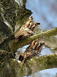 Deux jeunes hiboux moyen-duc (Asio otus) perchés dans un arbre, près de Kremenets, dans l'oblast de Ternopil. (définition réelle 1916×2580)