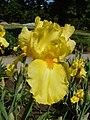 Колекція ірісів в ботанічному саду ТНУ 05.jpg