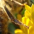 Конечность Бджоли медоно́сної(poda of Apis mellifera).jpg