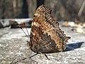 Метелик Григорівка весна.jpg