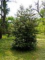 Падуб, Ботанічний сад ОНУ 1.jpg