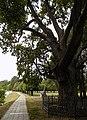 Рыльский район Марьино Парк Дуб 600 лет 1.jpg