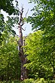 Самбурські дуби, Голосіївський район, кв. 13 виділ 2, 6, 7, 8 001.jpg