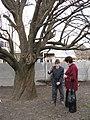 Старовинна груша на Карнаватці 25.jpg
