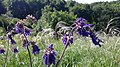 Шавлія поникла (Salvia nutans) на Великих Голдах.jpg