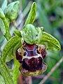 דבורנית צהובת שוליים - Ophrys flavomarginata.jpg