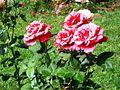 أزهار مكناس.jpg