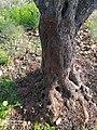 جذع شجرة زيتون- قراوة بني حسان.jpg
