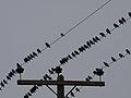 رفتار عجیب سارها بر روی تیرهای برق در اطراف شهر قم، ابتدای فصل زمستان - عکاس. مصطفی معراجی 07.jpg