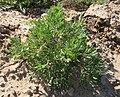 شاه تره از پوشش گیاهی در بخش دشتی روستای راوخ اسفراین عکس از احمد نیک گفتار.jpg