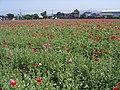 ポピーの花園 - panoramio.jpg