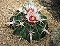 仙人掌-綾波 Homalocephala texensis (Echinocactus texensis) -日本大阪鮮花競放館 Osaka Sakuya Konohana Kan, Japan- (27295690187).jpg