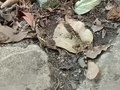 File:公斯文豪氏攀木蜥蜴互咬 Diploderma swinhonis lizard males biting each other.webm