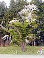 夷田の桜 - panoramio.jpg