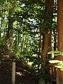 安布知神社 サカキの古木.jpg