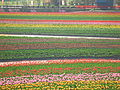 春の色Ⅱ(A color of the spring) - panoramio.jpg