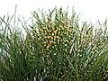 松葉蕨 Psilotum nudum -香港花展 Hong Kong Flower Show- (13218853675).jpg