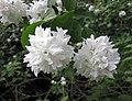 歐洲山梅花-重瓣 Philadelphus coronarius v deutziaeflorus -波蘭 Krakow Jagiellonian University Botanic Garden, Poland- (35924537813).jpg