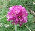 海石竹 Armeria maritima -比利時 Leuven Botanical Garden, Belgium- (9198152277).jpg
