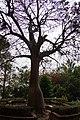 猢猻樹 Adansonia digitata L. - panoramio.jpg