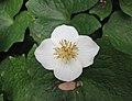 血水草 Eomecon chionantha -比利時 Ghent University Botanical Garden, Belgium- (9237479839).jpg